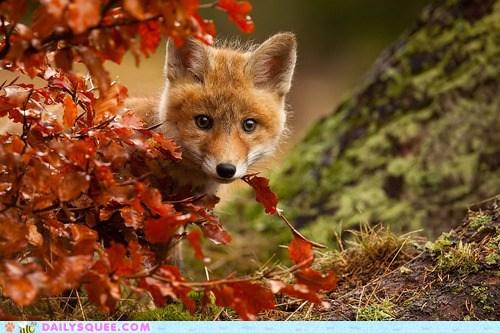 Firefox Fall